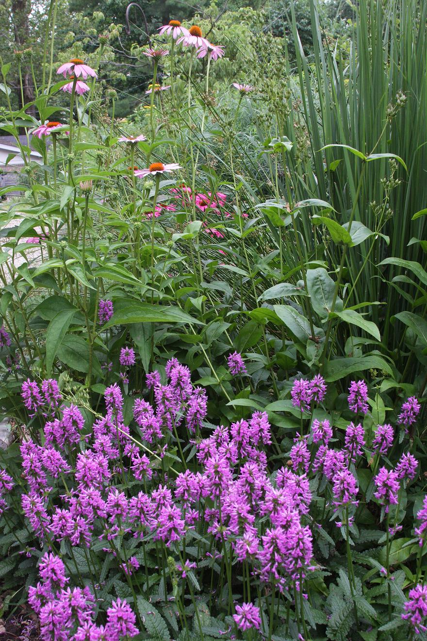 Salvia and coneflowers