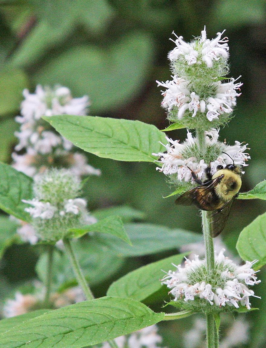 Bumblebee on Ohio horsemint
