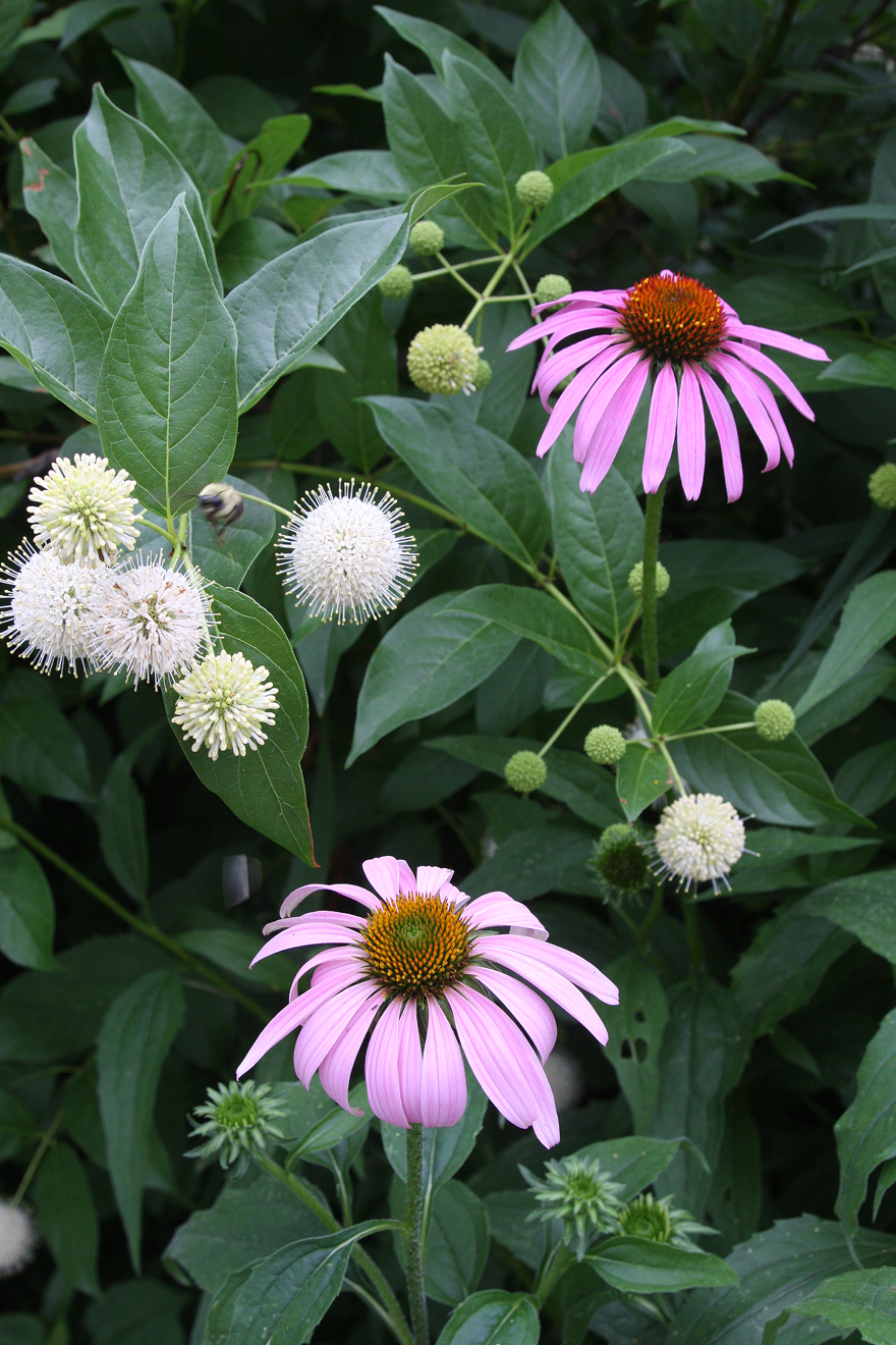 Coneflower and buttonbush