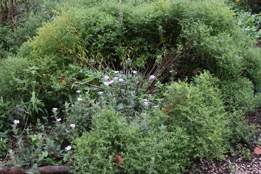 Wild petunias and aromatic aster