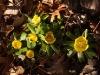 Eranthus, winter aconite