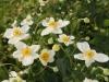 Honorine Jobert Japanese anemone