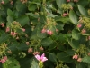 Turtlehead and Lacecap Hydrangea