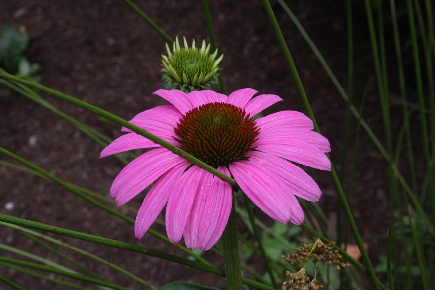 Echinacea Purple Emperor