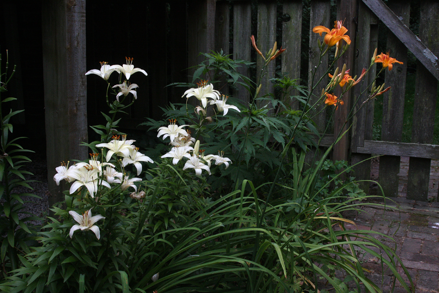 Lily and daylilies