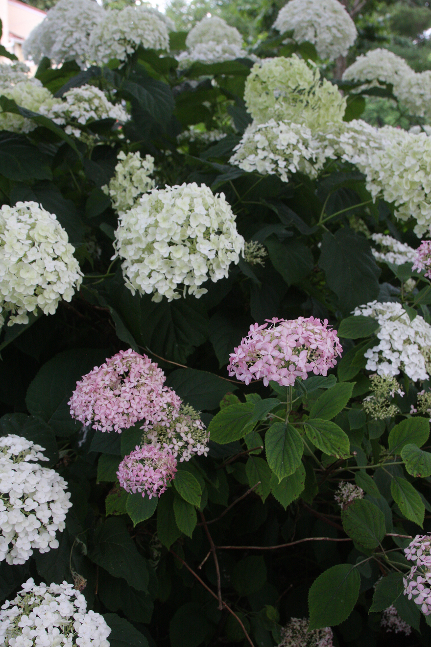 hydrangea Incrediball and Invincibelle spirit II