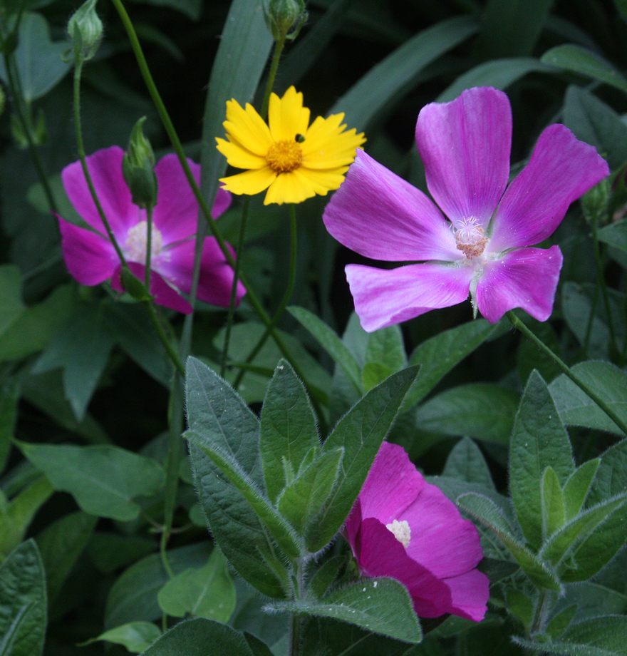 mallow and coreopsis