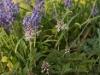 Tiarella and hyacinth