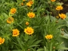Coreopsis \'Sunfire\'