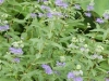 Caryopteris \'Longwood Blue\'