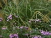 Spiderflower and Miscanthus