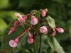 Hardy Begonia