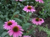 Echinacea 'Little Annie' again