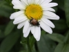 Japanese beetle on Shasta Daisy