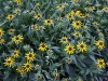 Rudbeckia 'Little Goldstar'