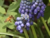 Honeybee at Hyacinth