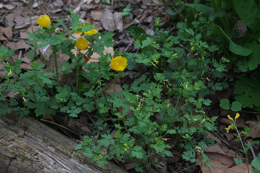 Celandine poppy, Yellow fumewort