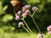 Wildlife Sanctuary Butterfly on Verbena