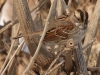 White-throated Sparrow (tan form)