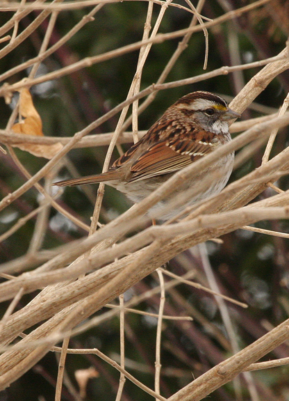 White-throated Sparrow (white form)