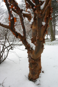a picture of Acer griseum, paperbark maple