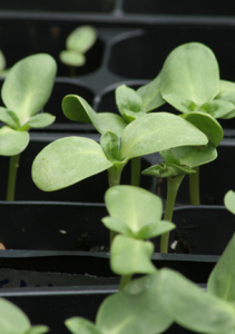 a picture of young seedlings in trays