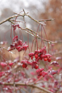 a picture of wahoo berries covered in ice