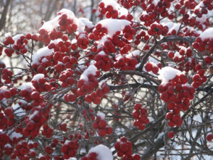 A picture of winterberry bush with berries in snow