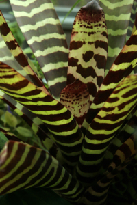 a picture of a zebra plant