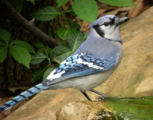 a photo of a blue jay