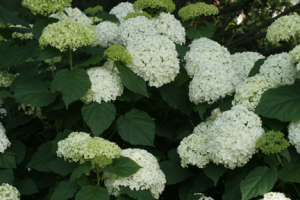 a photo of white flowers on Hydrangea arborescens 'Annabelle'