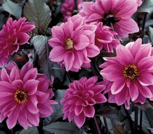 a picture of the Dahlia 'Fascination'