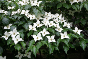a photo of a Kousa dogwood in bloom