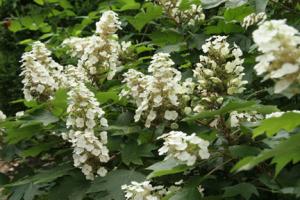 a photo of white flowers on oakleaf hydrangea