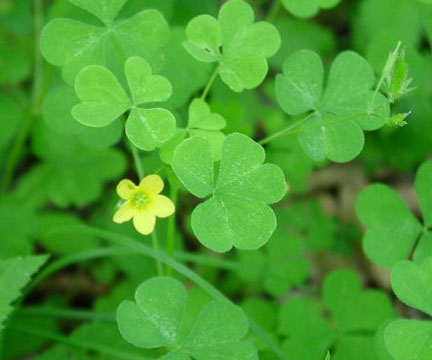Experience oxalis the gateway gardener an image of oxalis stricta with yellow flower mightylinksfo
