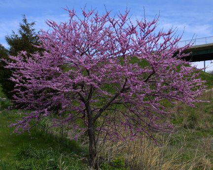 A Picture Of Redbud Tree In Bloom