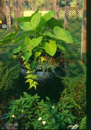 an image of Xanthosoma 'Lime Zinger'