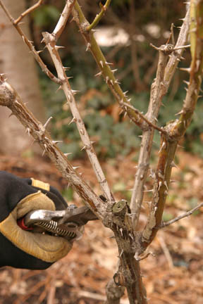 a picture showing a dead branch on a rose bush