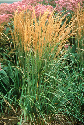 Ornamental grasses the gateway gardener for Ornamental feather grass