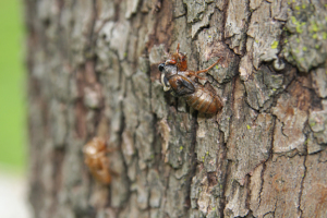 a photo of a 13-year cicada shedding exoskeleton