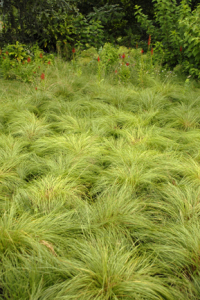 an image of Prairie Dropseed ornamental grass