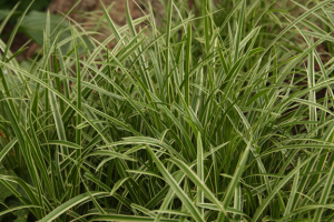 a photo of carex 'Ice Dance'