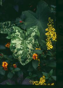 A photo of Alocasia 'Hilo Beauty'