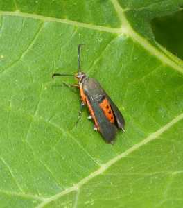 an image of the moth of Adult Squash Vine Borer