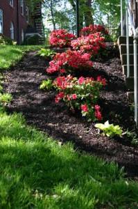 an image of a mulched azalea garden