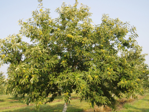 A photo of Chinese Chestnut 'Qing'