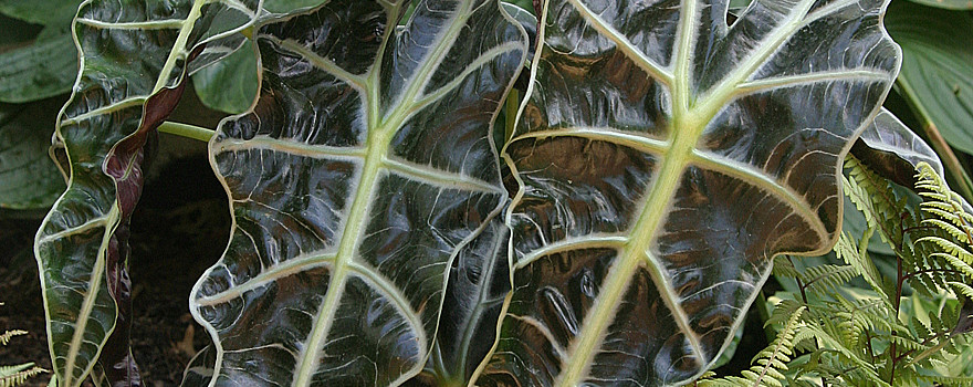 Alocasia 'Polly' photo by Robert Weaver
