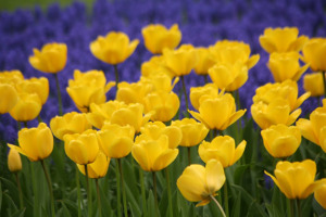 a photo of Tulipa 'Golden Ape