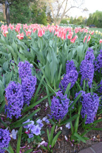 a picture of purple hyacinth bulbs in bloom