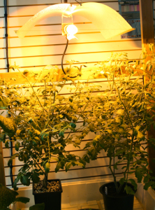 a picture of tomatoes growing under high pressure sodium lights